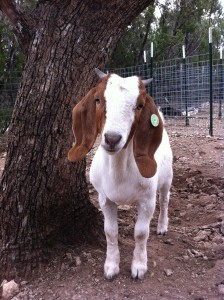 Abatha, world's cutest goat